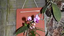 Phalaenopsis můžeme pěstovat třeba na střešní tašce.