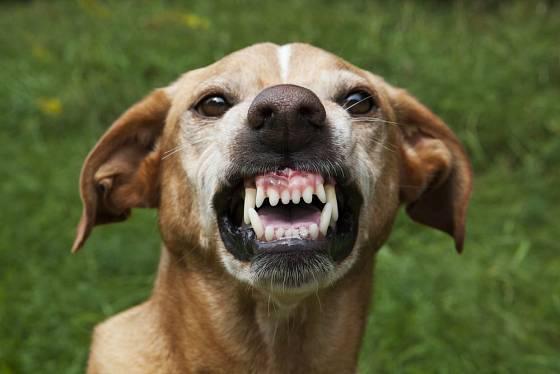 Ukazování zubů znamená hrozbu, u všech plemen bez rozdílu. Pes však nemusí zaútočit, pokud ho k tomu neprovokujeme