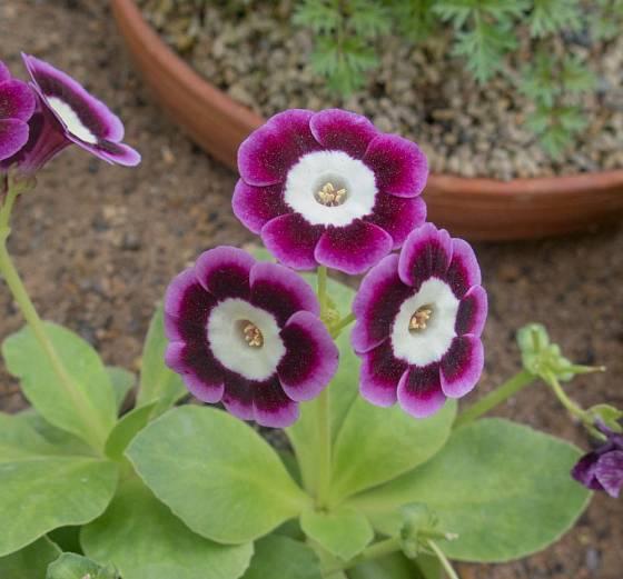 Oblíbená stálezelená skalnička, prvosenka lysá (Primula auricula)