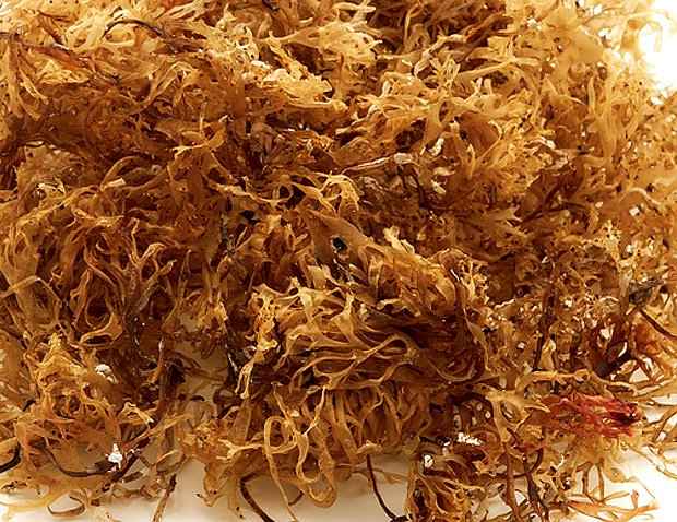 puchratka kadeřavá (Chondrus crispus)