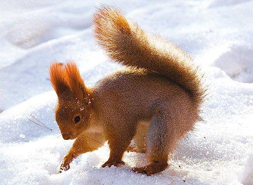 veverky jsou čiperné i v zimě
