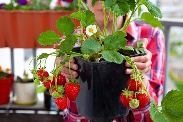 Na trhu jsou semena nových odrůd jahodníků