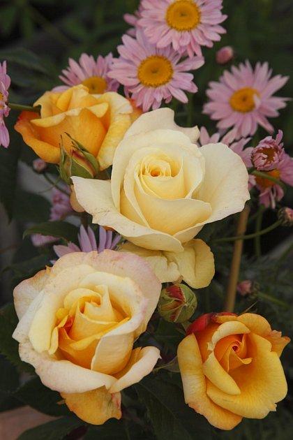 růže odrůdy Sunny_Sky