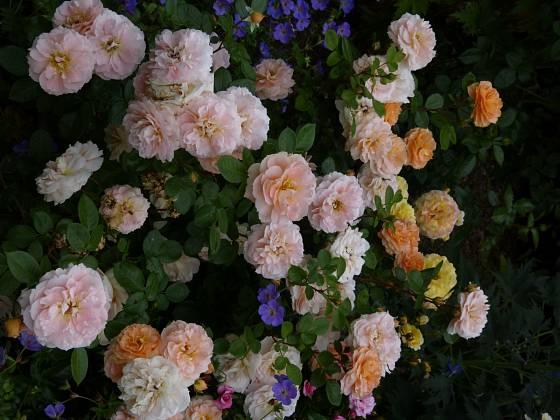 Mnohokvětá růže Schöne vom See vyniká množstvím květů a ochotou vytvářet nová poupata. Odkvetlé květy odstraňujeme jen zaštípnutím těsně za květem, hlubším střihem bychom se připravili o spoustu nově rašících poupat.
