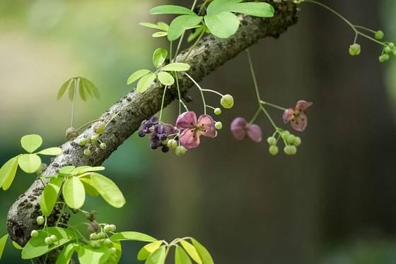 Akébie může popnout i větve dřevin, sama časem vytváří silné dřevité provazce