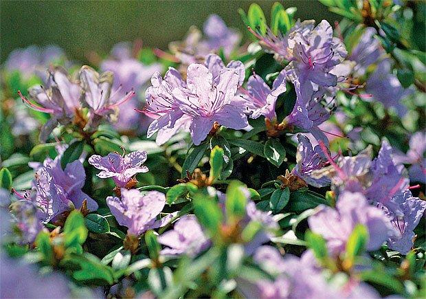 Závan dálek na zahrádku vnesou bohatě kvetoucí azalky a pěnišníky.