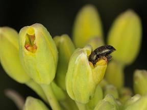 blýskáček řepkový (Meligethes aeneus)