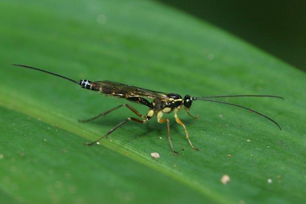 Lumčík žlutonohý (Apanteles glomeratus, syn. Cotesia glomerata)