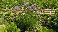 Kvetoucí pažitka je ozdobou zahrady.