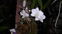 Phalaenopsis uchycený na kusu kůry.