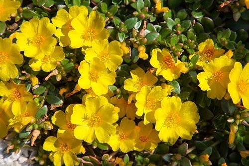 Má dužnaté lžičkovité listy, plazivé načervenalé lodyhy a její květy jsou nádherně žluté, bílé nebo červené.