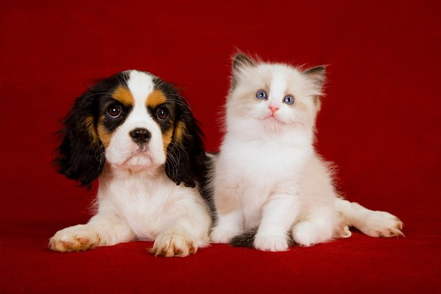 King Charles španěl je pro kočky vhodným společníkem.