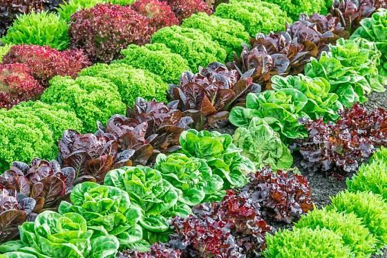 K pozdnímu pěstování se hodí i saláty k řezu listů. Záhon může být velmi dekorativní