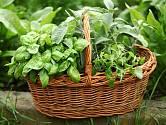 Bylinky lze pěstovat i v proutěném košíku