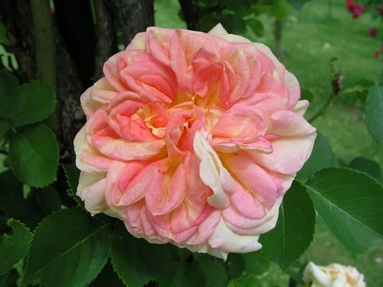 Alchymist (Kordes, Německo, 1956). Vonící, hustě plné, růžově oranžové květy o průměru asi 9 cm, výška 4 m. Jednou kvetoucí