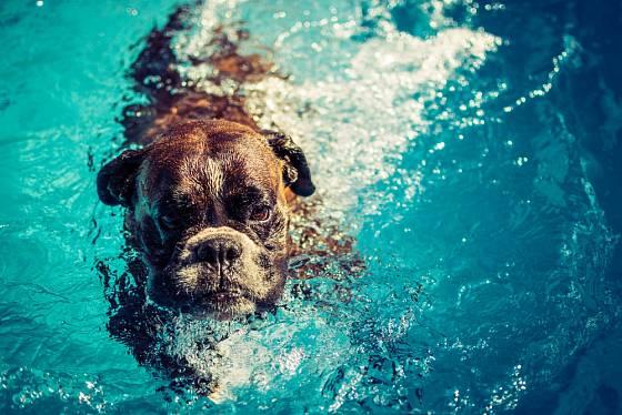 Láska k vodě je u boxerů individuální záležitostí.