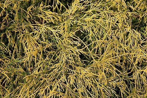 cypřišek hrachonosný, kultivar Filifera Aurea