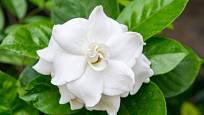 Gardénie jsou okouzlující pokojové rostliny s omamnou vůní.