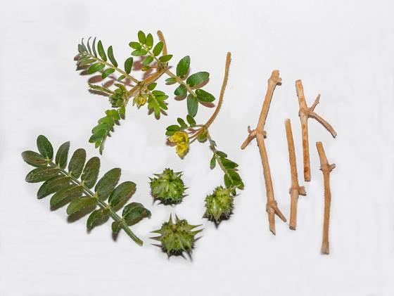 Kotvičník zemní - čerstvá nať, listy, květy a plody.