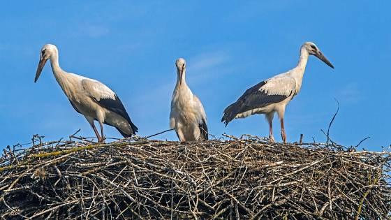 Čapí hnízda jsou stavby úctyhodné velikosti i váhy