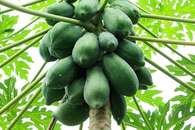 Papája, velký a plodný tropický strom