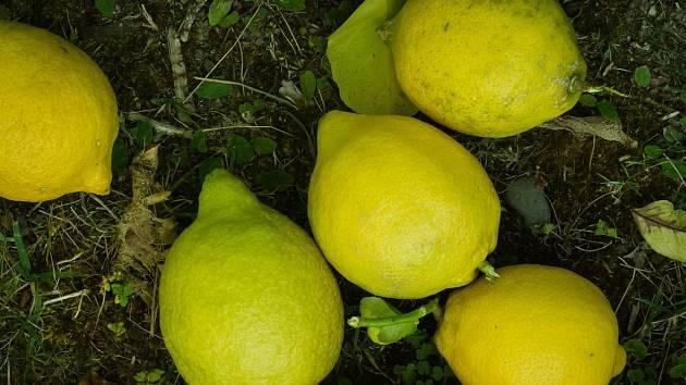 Citrony nám pomohou i na zahradě.