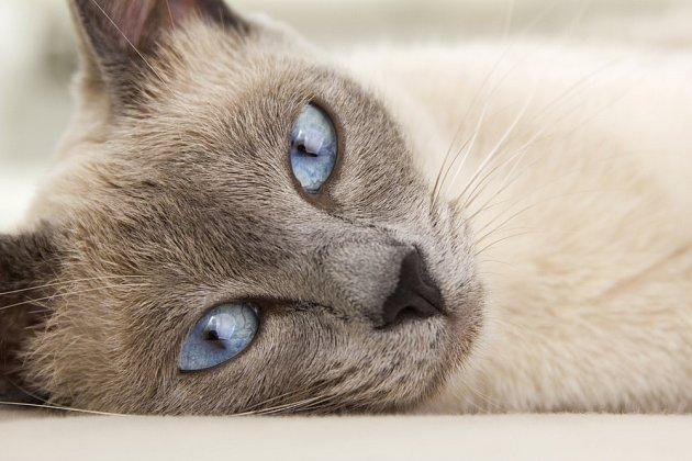 Siamská kočka je krásná, temperamentní a oddaná společnice.