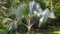 otužilá palma Trachycarpus fortunei