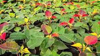 Zahradníci dovedou úpravou světelných podmínek dokonale načasovat vybarvení listenů vánoční hvězdy.
