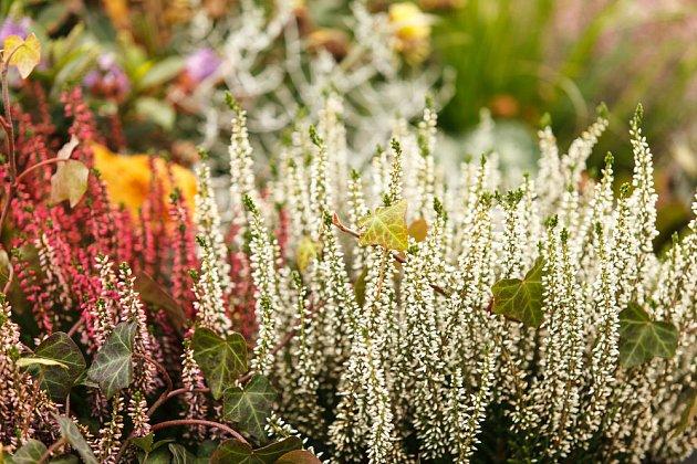 Vřesy a vřesovce zdobí zahradu na podzim i v zimě