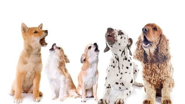 vytí psů