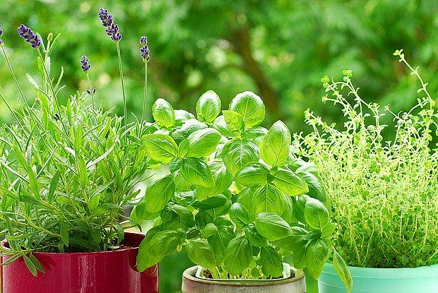 Bylinky lze snado pěstovat i v květináči