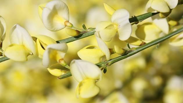 Janovec metlatý (Cytisus scoparius) patří k nejčastěji pěstovaným čilimníkům.