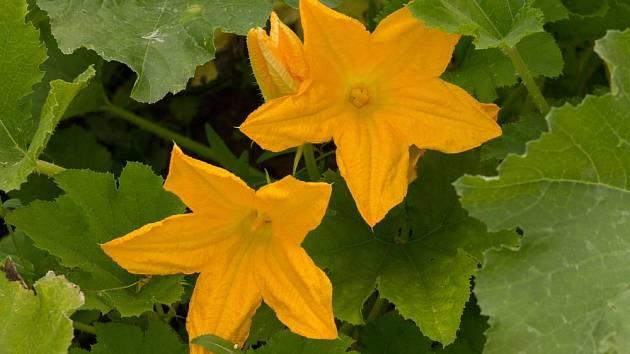 Cukety vynikají velkými, zlatě zbarvenými květy