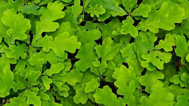 Dub letní (Quercus robu), listy.