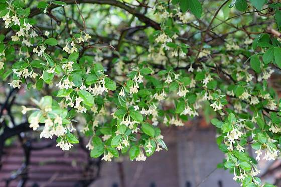 Hlošina mnohokvětá (Elaeagnus multiflora)
