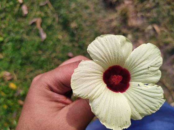 Květy ibišku bahenního jsou opravdu velké.
