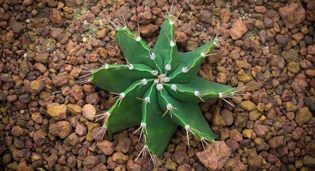 kaktus Astrophytum ornatum