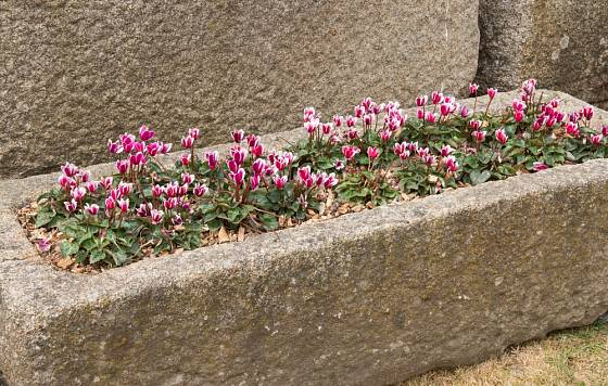 Kamené koryto klidně můžete osázet třeba i jediným druhem rostliny, v tomto případě bramboříkem.