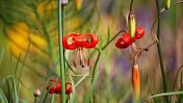 lilie nízká (Lilium pumilum)