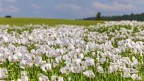 Na makové pole v květu je krásný pohled
