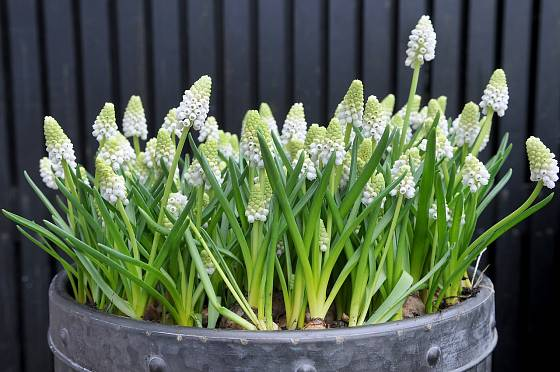 Bíle kvetoucí modřence.