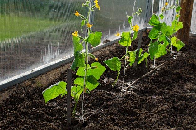 Ve vyhřátém skleníku okurky rychle rostou a kvetou