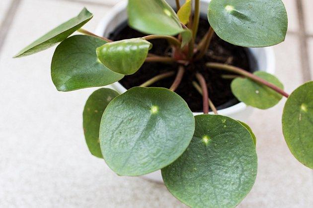 Kulaté svěže zelené listy jsou příjemnou ozdobou rostliny.