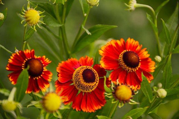Záplevák podzimní (Helenium autumnale)
