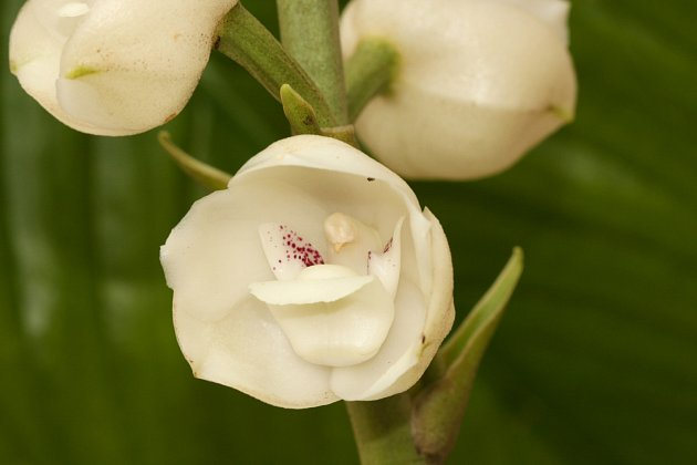 Orchidej (Peristeria elata)