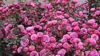 mnohokvětá růže, odrůda Pomponella