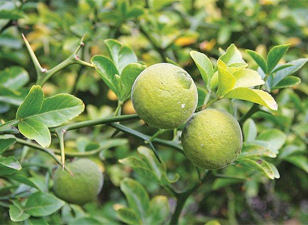 Nezralé plody