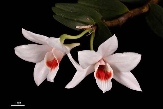Miniaturní orchidej Dendrobium trankimianum
