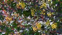 dřišťál obecný, Berberis vulgaris